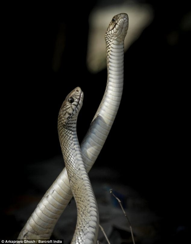 mating Between two snakes