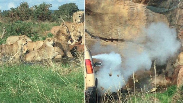 West Midlands Safari workers intercept as female lions attack male