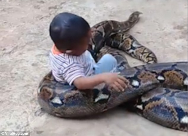 Toddler plays with huge python as adult laughs and films it… even when the snake wraps itself around the child