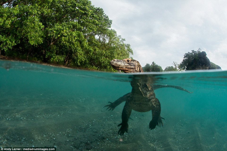 Moment magnificent Komodo dragons are fended off with STICKS as they get frighteningly close to photographer in Indonesia