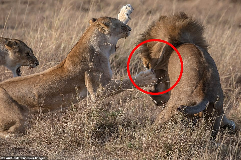 This is for my cubs! Lioness mother smacks lion on the jaw after it slaughtered her three children