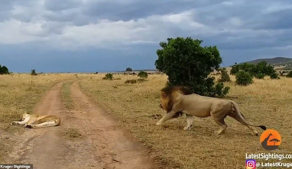 Lioness gets very rude wake-up call when lion bites her on the rear