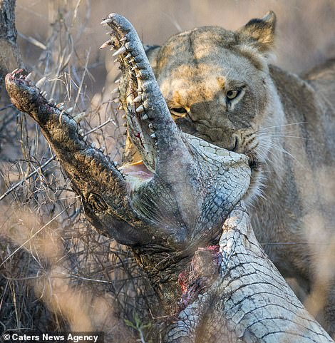 Lioness feasts on a crocodile after gripping its head between her powerful jaws
