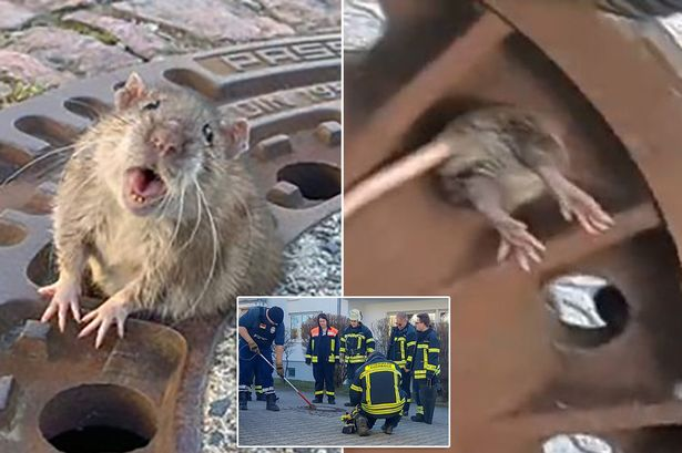 Firefighters Save Oversized Rat Stuck in Manhole Cover