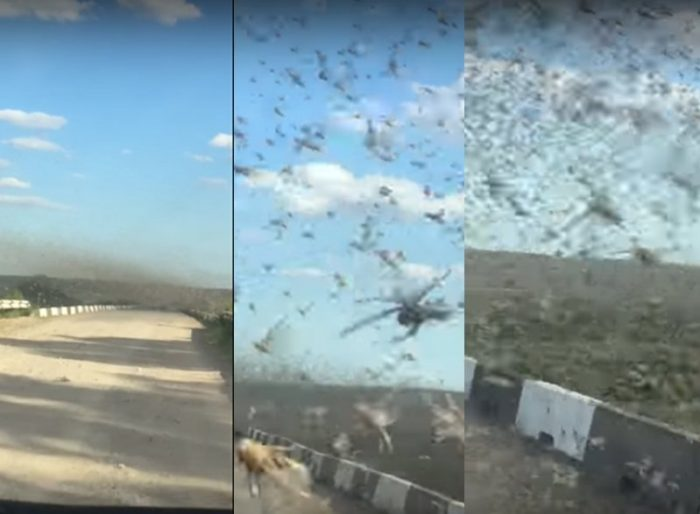 Fishermen battle their way through an enormous swarm of locusts which has devastated swathes of farmland in southern Russia