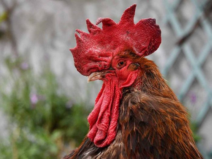French rooster on trial for its 'cock-a-doodle-doo'